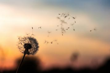 dandelion flower in the breeze